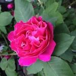 君に薔薇薔薇ハートは赤い薔薇